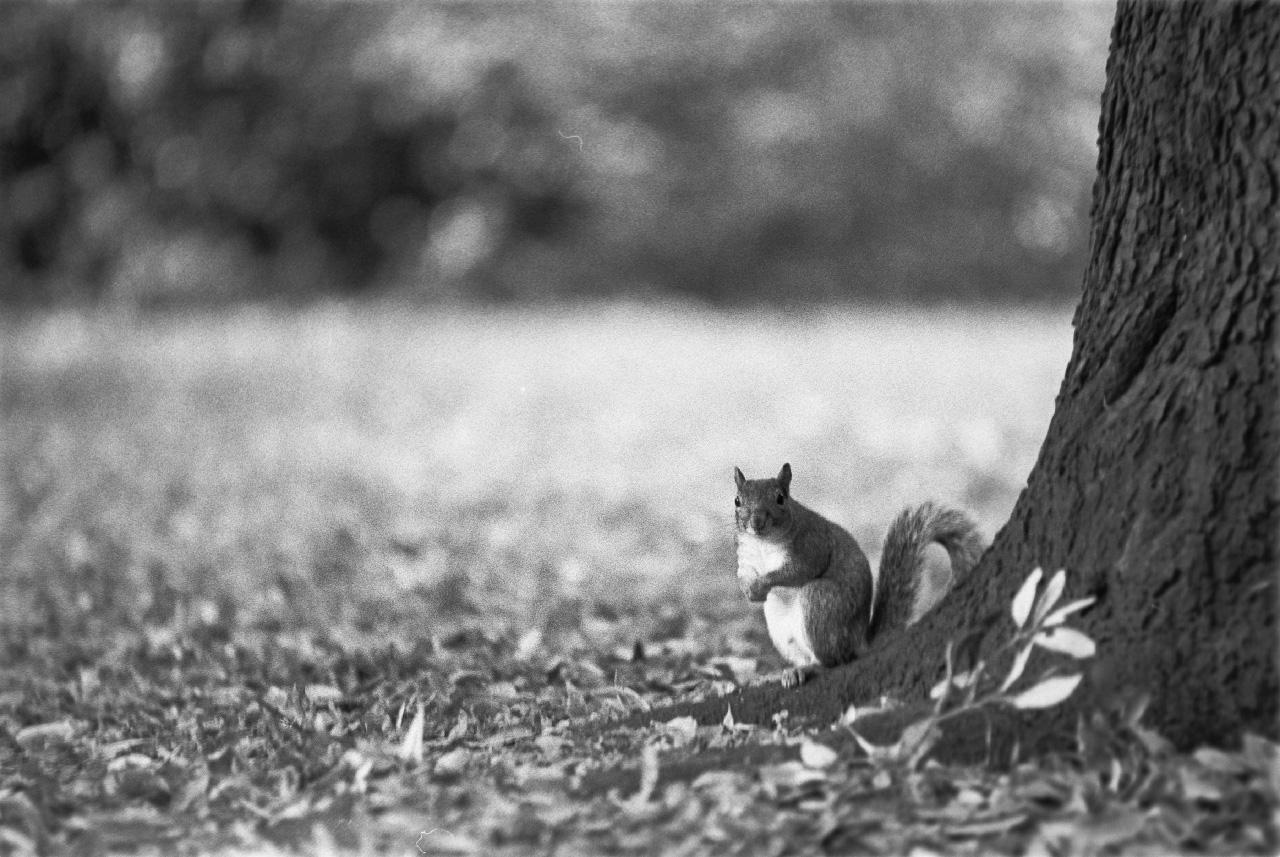 Squirrel at Battersea park